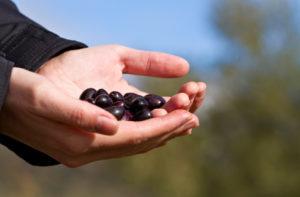 Aceituna Cornicabra origen de nuestro Aceite de Oliva Virgen Extra Ecológico