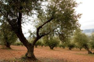 Olivo Cornicabra